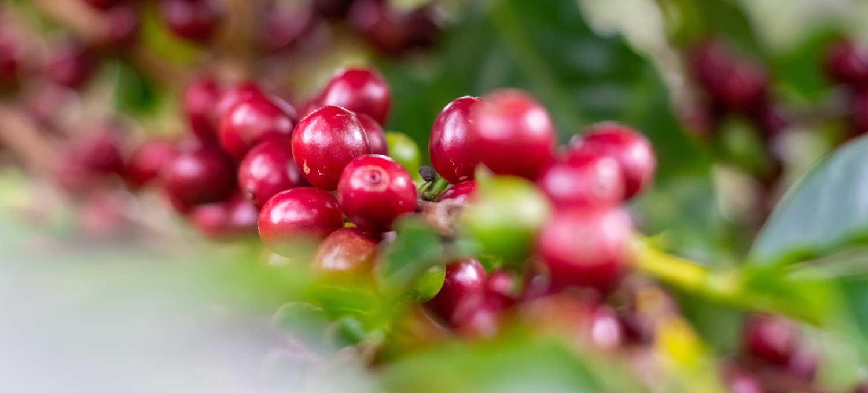 keunggulan-kopi-robusta